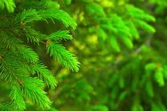 ель ветви Стоковое фото RF