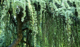 ель ветви Стоковая Фотография RF