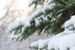 Ель в зиме Стоковые Изображения RF