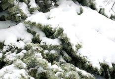 Ель в снеге, погоде зимы, праздничной свежей предпосылке Стоковые Фото