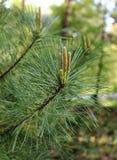 Ель детенышей ветви Стоковое Изображение RF