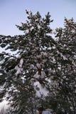 Ель зимы на предпосылке неба конец красит воду взгляда лилии мягкую поднимающую вверх Снег складывает вверх на ветвях сосны Стоковая Фотография RF