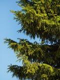 Ель на предпосылке голубого неба на солнечный день Стоковая Фотография RF