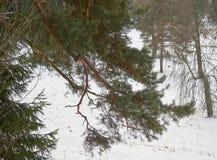 Ель разветвляет смертная казнь через повешение на снежном луге Стоковая Фотография