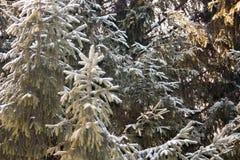 Ель рождества Зеленые ветви фантастично стоковое изображение rf