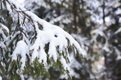Ель с всходом конца снега поднимающим вверх Стоковое Изображение