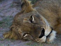 ленивая львица Стоковая Фотография