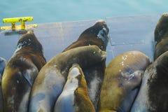 ленивое море львов Стоковые Фотографии RF