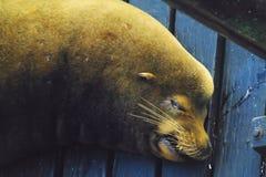 ленивое море львов Стоковая Фотография