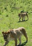 ленивый львев Стоковые Фото