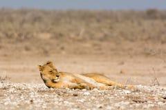 ленивый львев Стоковая Фотография RF