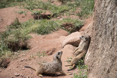 2 ленивых meerkats или семьи suricats Стоковое фото RF