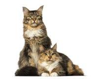 2 енота Мейна сидя, лежа и смотря прочь Стоковая Фотография