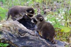 3 енота младенца играя в полом пне Стоковое Изображение
