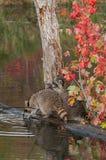 2 енота (lotor проциона) деревом в пруде Стоковые Изображения
