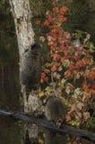2 енота (lotor проциона) одно взбираясь дерево Стоковые Изображения