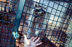 Енот давая руку к фотографу Стоковая Фотография RF