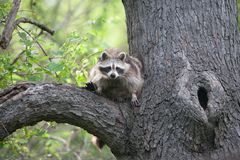 Енот в дереве - природный заповедник Ojibway - Виндзор, Онтарио - 2017-05-17 Стоковые Фото