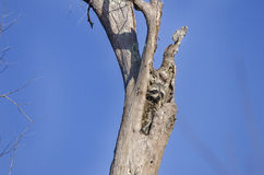 Енот в полости дерева, охраняемой природной территории соотечественника болота Okefenokee Стоковые Изображения