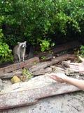 Енот в Dominicana Стоковое фото RF
