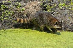 Енот ища для еды в Largo, Флориды США Стоковая Фотография