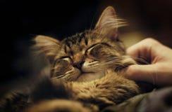 енот кота получая petting Мейна Стоковое Изображение