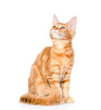 енот кота смотря Мейн вверх белизна изолированная предпосылкой Стоковое фото RF