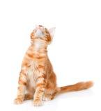 енот кота смотря Мейн вверх белизна изолированная предпосылкой Стоковые Фото