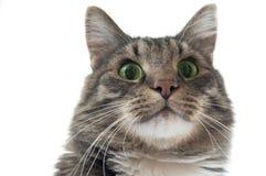 енот кота смотря Мейн вверх Стоковые Изображения