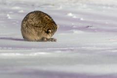 Енот крупного плана в зиме Стоковое Фото