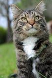 енот любознательний Мейн кота Стоковые Изображения