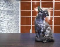 Енот Мейна большой кошки сидит на кухонном столе Стоковая Фотография