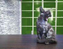 Енот Мейна большой кошки сидит на кухонном столе Стоковые Фото