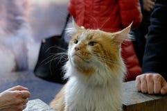 Енот Мейна кота Стоковые Изображения