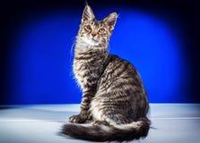 Енот Мейна котенка Стоковые Фото
