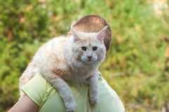 Енот Мейна на плече человека Стоковая Фотография RF