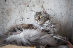 Енот Мейна на свете - серой предпосылке Стоковая Фотография
