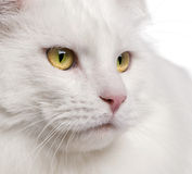 енот Мейн кота близкий вверх Стоковые Изображения