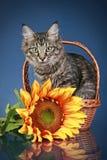 енот Мейн кота корзины сидит солнцецвет Стоковая Фотография