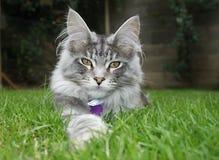 енот Мейн кота Стоковое Изображение