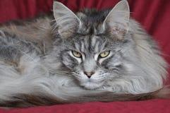 енот Мейн кота Стоковое Фото