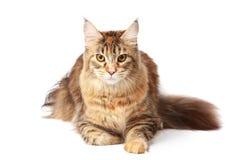 енот Мейн кота Стоковое Изображение RF