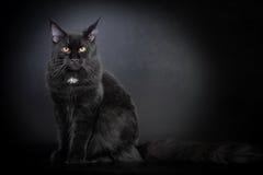 енот Мейн черного кота Стоковое Изображение RF