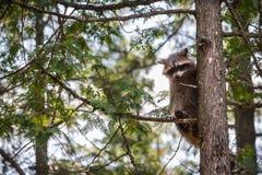 Енот сидя в дереве Стоковое Изображение