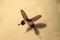 Енот Losaria бабочки енота Atrophaneura стоковая фотография rf