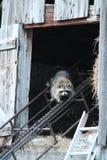 Енот Momma живя в сеновале стоковая фотография rf