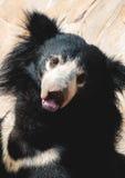 лень медведя черная Стоковое Фото