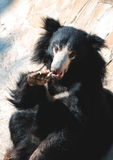 лень медведя черная Стоковая Фотография RF