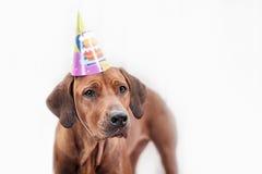день рождения празднуя собаку стоковое изображение rf