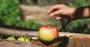 день солнечный Яблоко в саде Стоковые Изображения